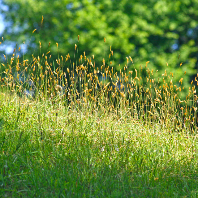 """""""Focused green grass on the hill"""" stock image"""