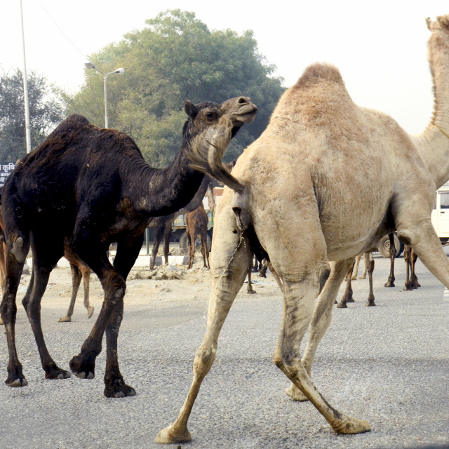 """THE CAMEL PRANKS"" stock image"