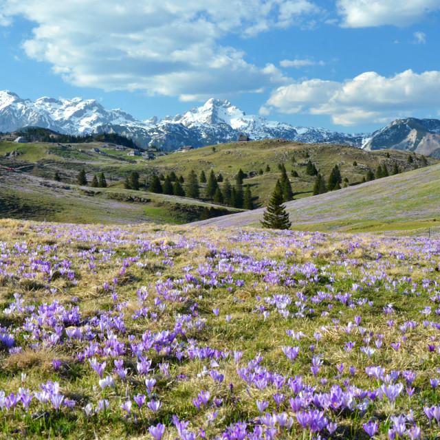 """Saffrons of Velika planina"" stock image"