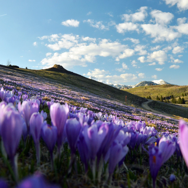 """Sunset at Velika planina plateau and many of saffrons"" stock image"