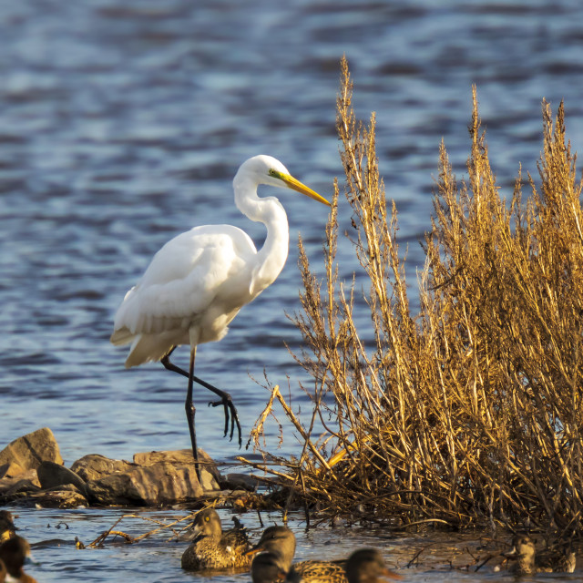 """Great egret Ardea alba waterfowl fishing in a natural habitat"" stock image"