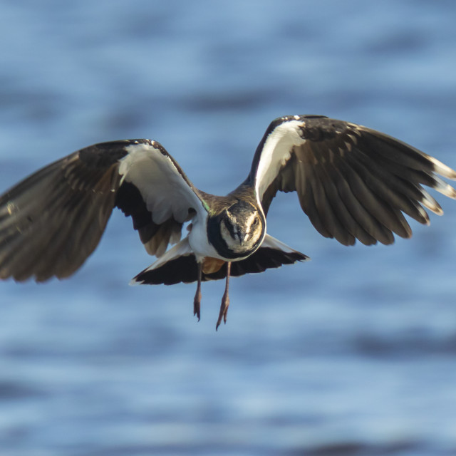 """Closeup of a northern lapwing, Vanellus vanellus, bird in flight"" stock image"