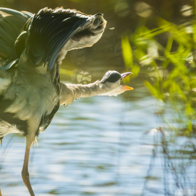 """Great blue heron Ardea herodias hunting in a lake"" stock image"