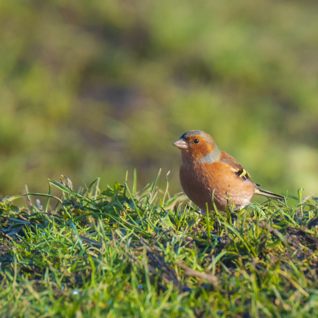 """Male chaffinch bird, Fringilla coelebs, foraging in a green grass meadow"" stock image"