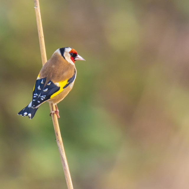 """European goldfinch bird, (Carduelis carduelis), perched on the lookout"" stock image"