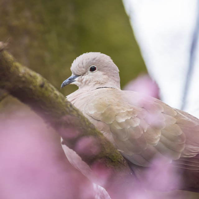 """Eurasian collared dove Streptopelia decaocto nesting in a tree"" stock image"