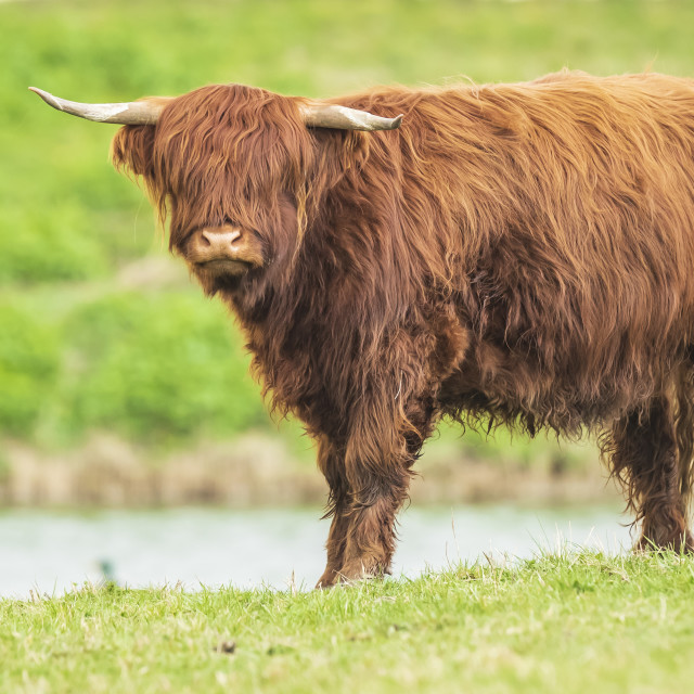 """Highland cattle, Scottish cattle breed Bos taurus with big long horns"" stock image"