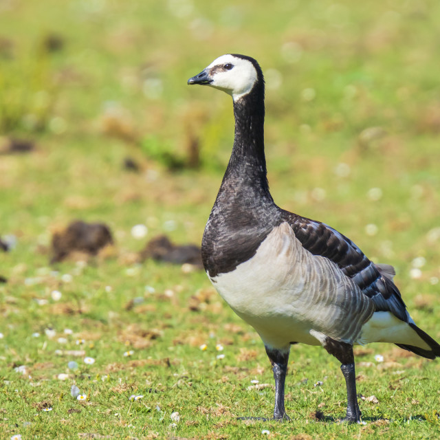 """Closeup of a barnacle goose Branta leucopsis in a meadow"" stock image"