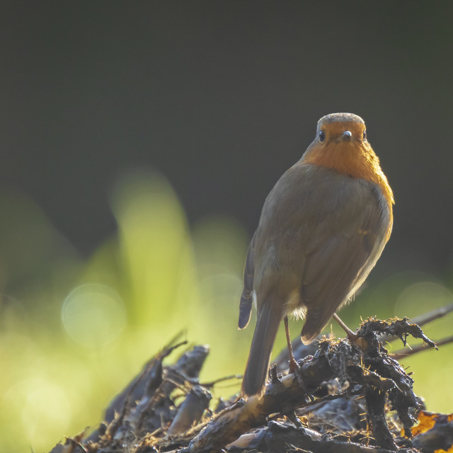 """Robin redbreast Erithacus rubecula bird singing in sunlight"" stock image"