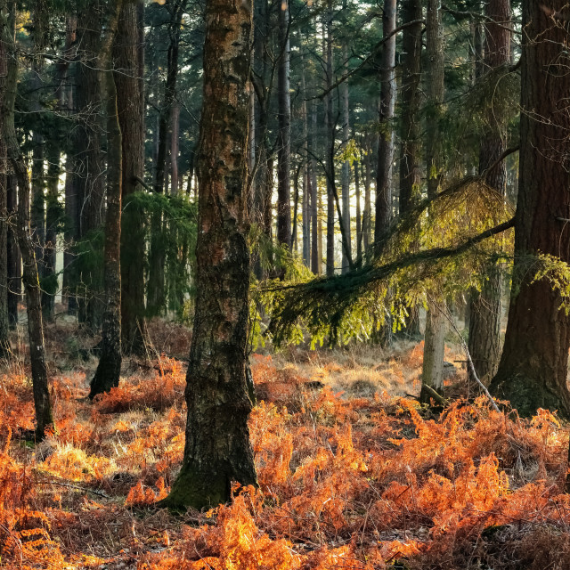 """""""Morning in the forest"""" stock image"""