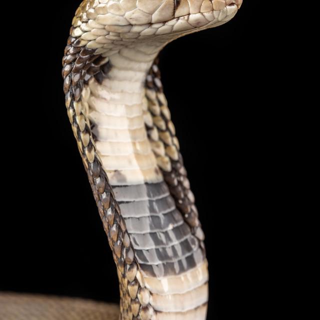 """Nubian spitting cobra / Naja nubia"" stock image"