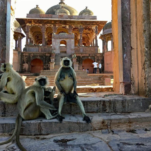 """""Hear No Evil, See No Evil, Speak No Evil"". Monkeys at Ranthambore"" stock image"