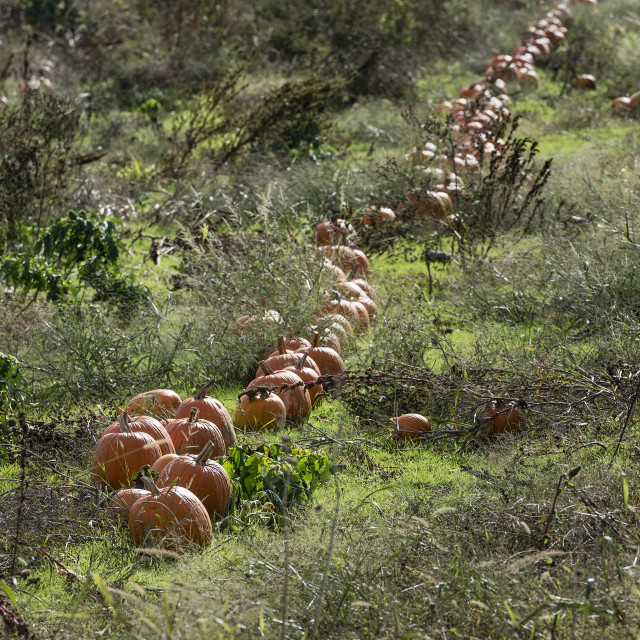 """Rustic pumpkin patch, Tiverton, Rhode Island"" stock image"