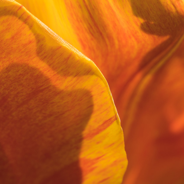 """""""Tulip Abstract"""" stock image"""