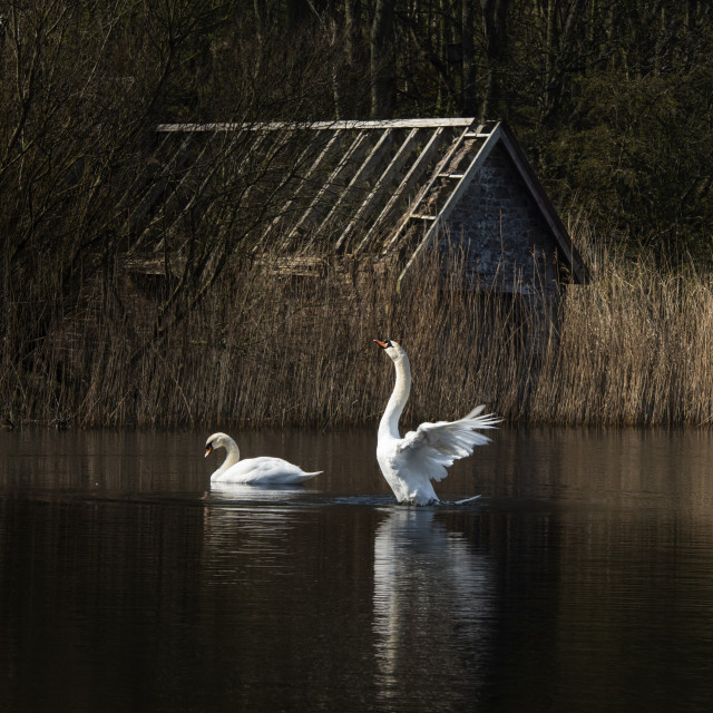 """""""Swans at Loch Mire"""" stock image"""