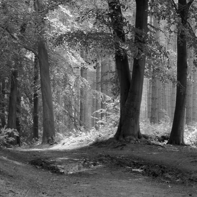"""""""Sun Through Trees 2, Delamere Forest."""" stock image"""