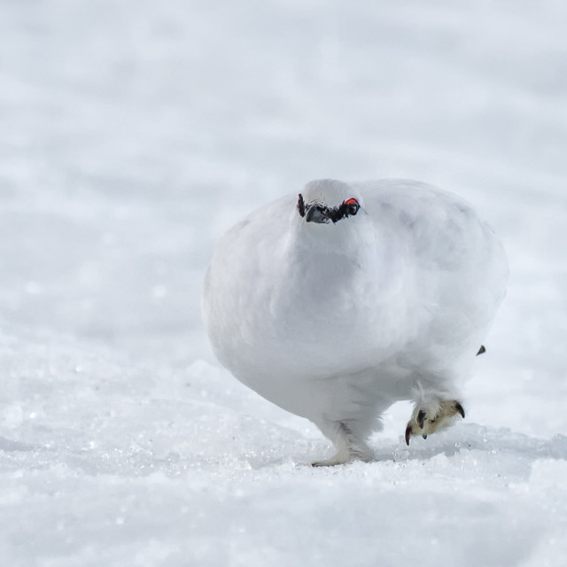 """Ptarmigan in the snow"" stock image"