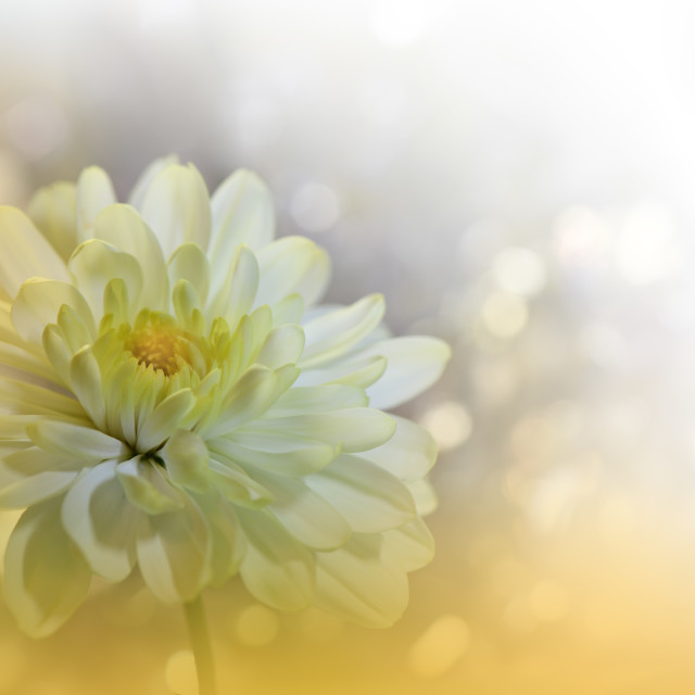 """""""Beautiful Golden Nature Background.Floral Fantasy Design.Artistic Abstract Yellow Chrysanthemum Flower."""" stock image"""