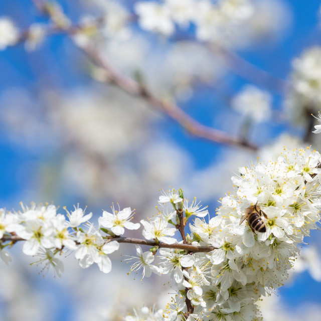 """""""Honey bee collecting pollen from flowers. Spring nature."""" stock image"""