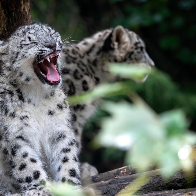 """Snow leopard cub, Panthera uncia"" stock image"