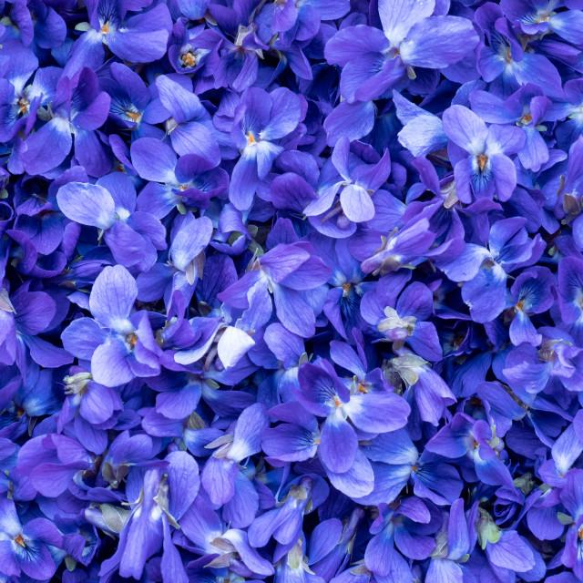 """Flower Background - macro image of spring violet flowers"" stock image"