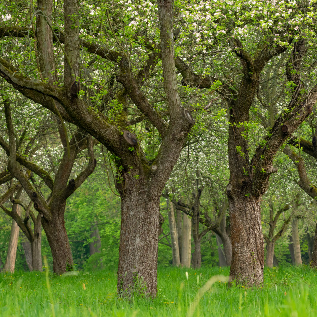"""""""Cherry orchard. Tree trunk cherry in a row. Cherry trees alley."""" stock image"""