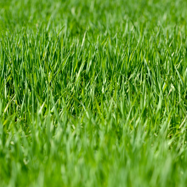 """Lush Green Grass in Early Spring."" stock image"
