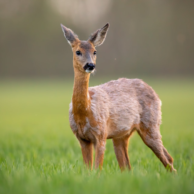 """Roe deer, capreolus capreolus, doe female in spring standing on a meadow."" stock image"