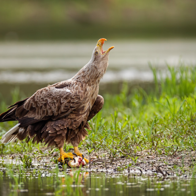 """""""Adult white-tailed eagle, haliaeetus albicilla, in summer screaming."""" stock image"""