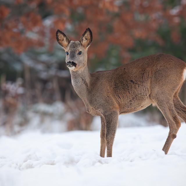 """""""Roe deer, capreolus capreolus, in deep snow in winter."""" stock image"""