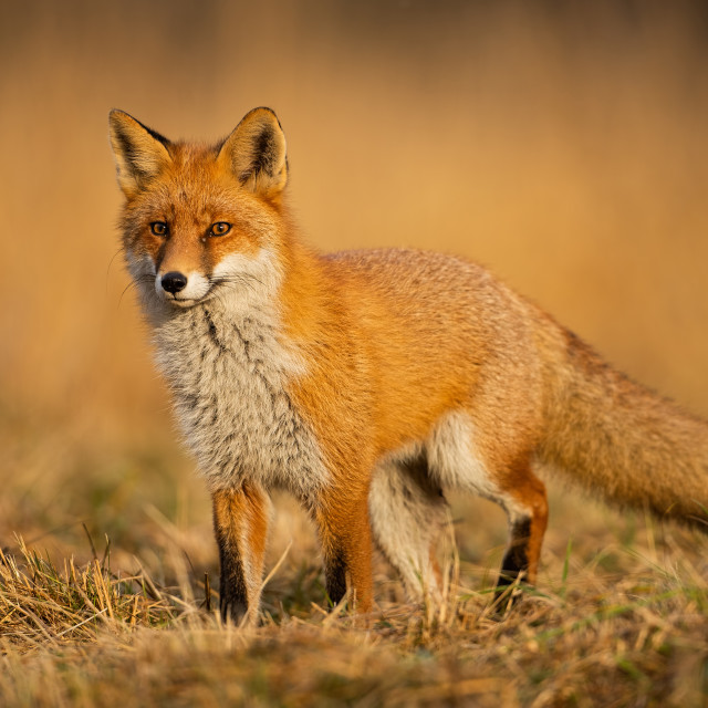 """Adult fox with clear blurred background at sunset."" stock image"
