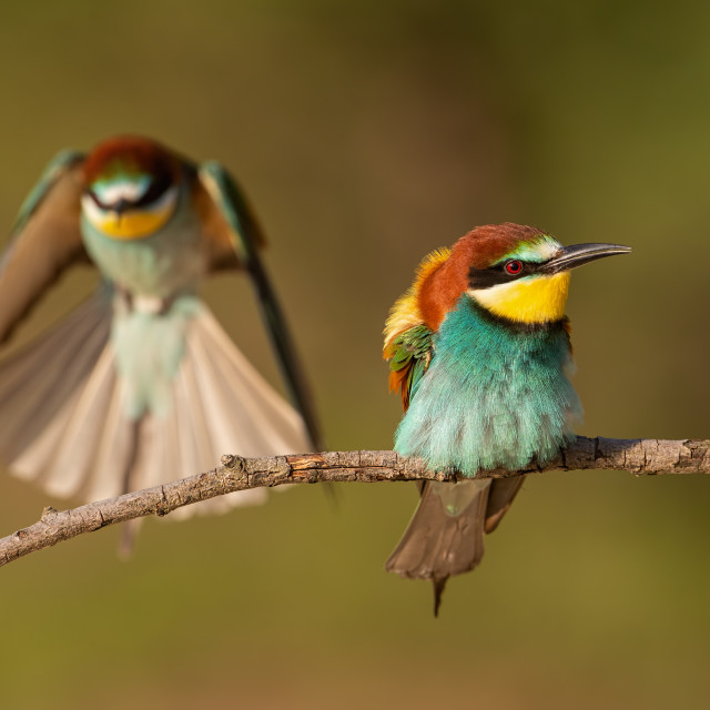 """Pair of european bee-eaters, merops apiaster."" stock image"