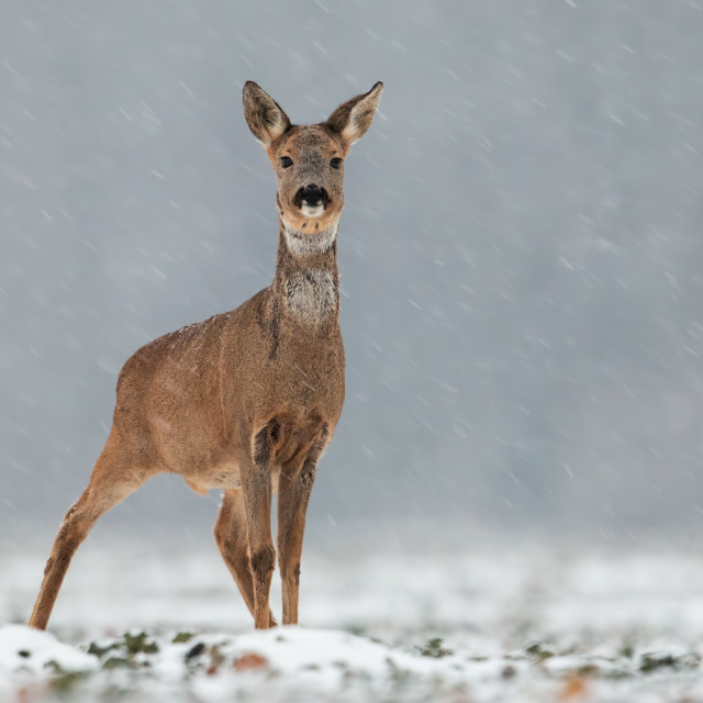 """Roe deer, capreolus capreolus, doe in wintertime during a snowfall."" stock image"
