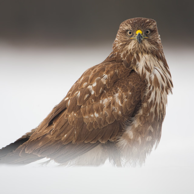 """Alert common buzzard, Buteo buteo, sitting on snow in winter."" stock image"