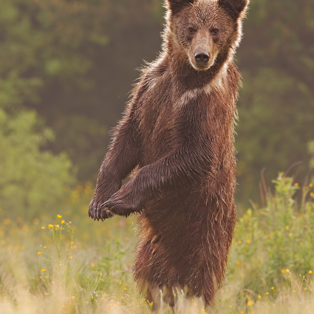 """Young wild curious brown bear, ursus arctos, standing in upright position"" stock image"