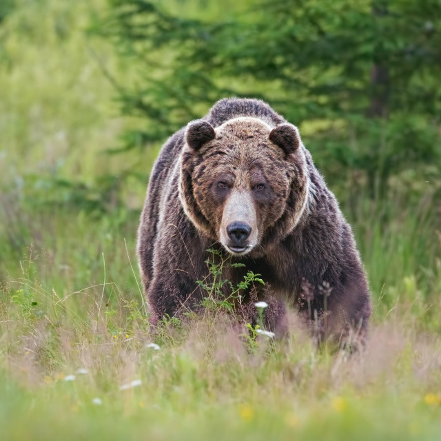 """Massive aggressive male brown bear. ursus arctos. on summer meadow."" stock image"