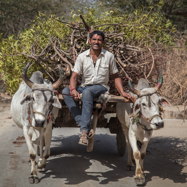 """Cow drawn cart"" stock image"