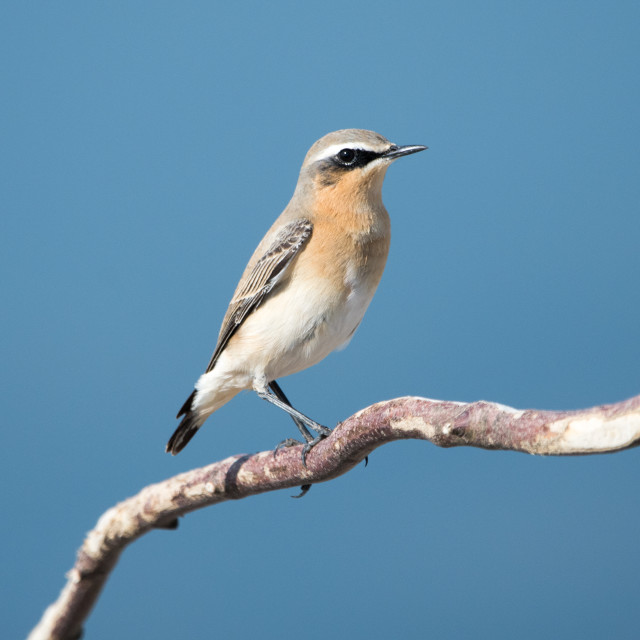 """Male Wheatear"" stock image"