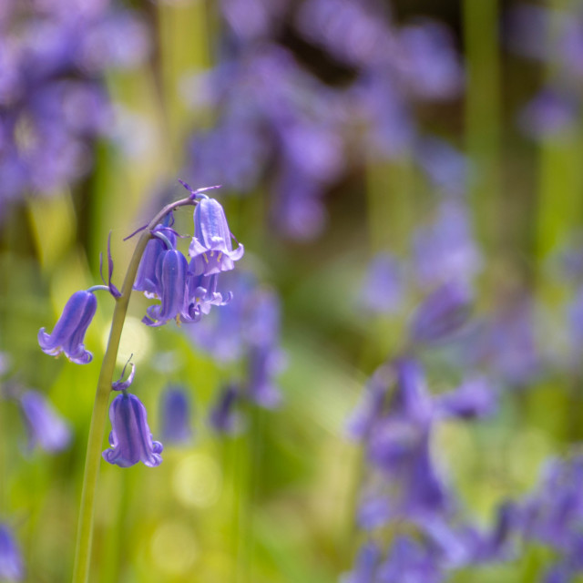 """Close up of bluebells in woodland"" stock image"