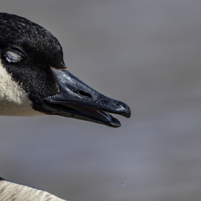 """Goose squint"" stock image"