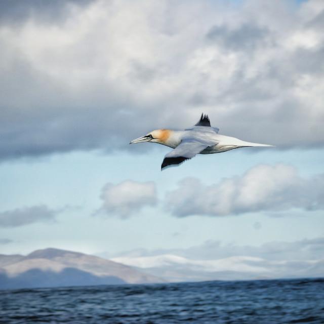 """Gannet flying by | Ireland"" stock image"
