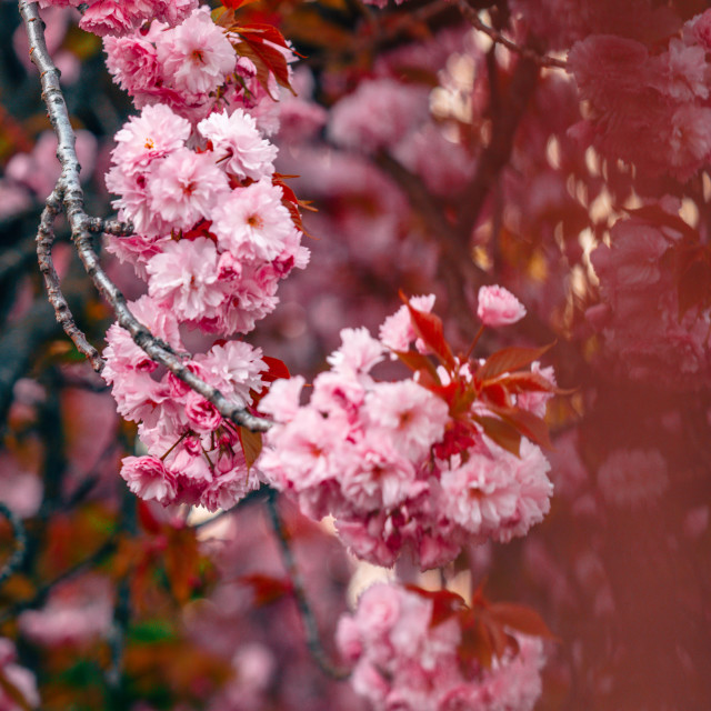 """Full Spring blossom in Transylvania"" stock image"
