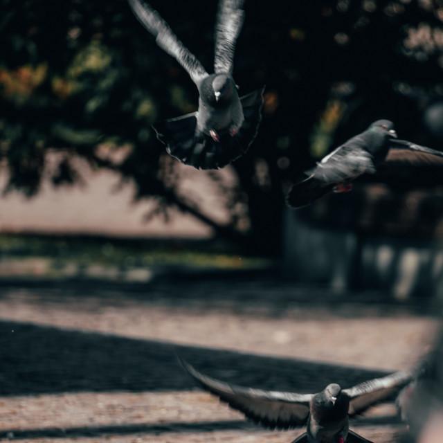 """Pigeons In Flight"" stock image"