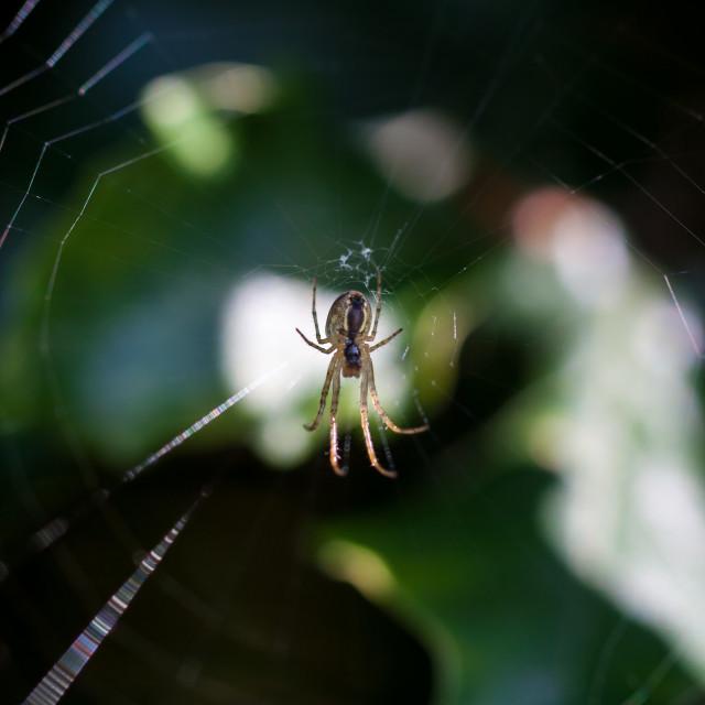 """""""Orb-web Spiders (Araneidae)"""" stock image"""