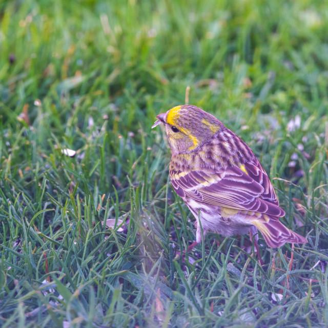"""Male bunting bird on lawn with black seed in beak"" stock image"