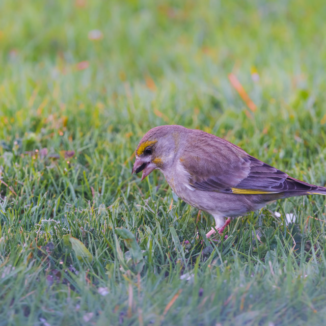 """""""Male greenfinch on lawn with black seed in beak"""" stock image"""