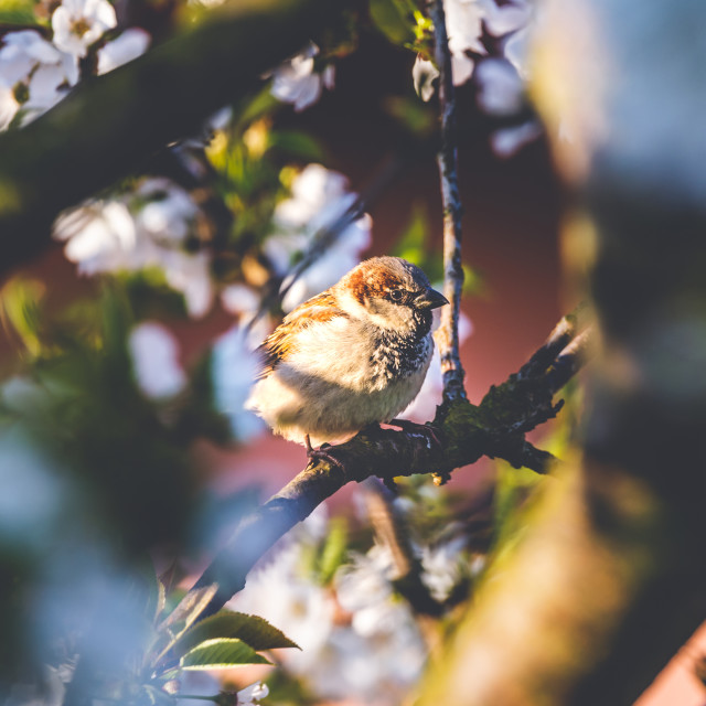 """""""Male sparrow perched on cherry tree with spring white blooms"""" stock image"""