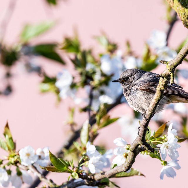 """""""Male blackstart perched on cherry tree with spring white blooms"""" stock image"""