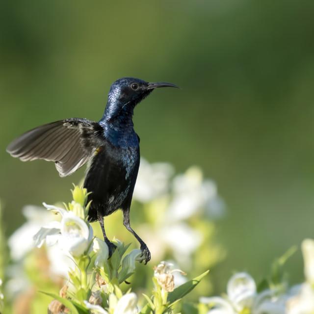 """Dance of Purple Sunbird on flowers"" stock image"