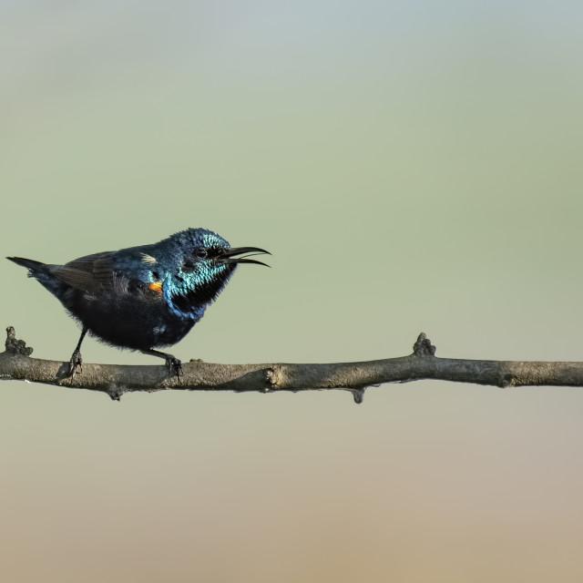 """Purple Sunbird on Perch"" stock image"